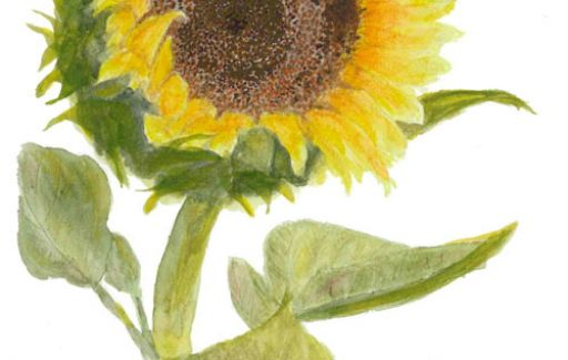 Sunflower - watercolour £55  by Lesley Goff